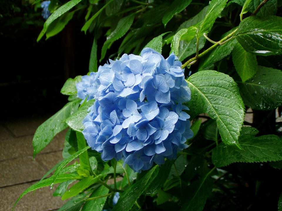 hydrangea, flowers, rainy season