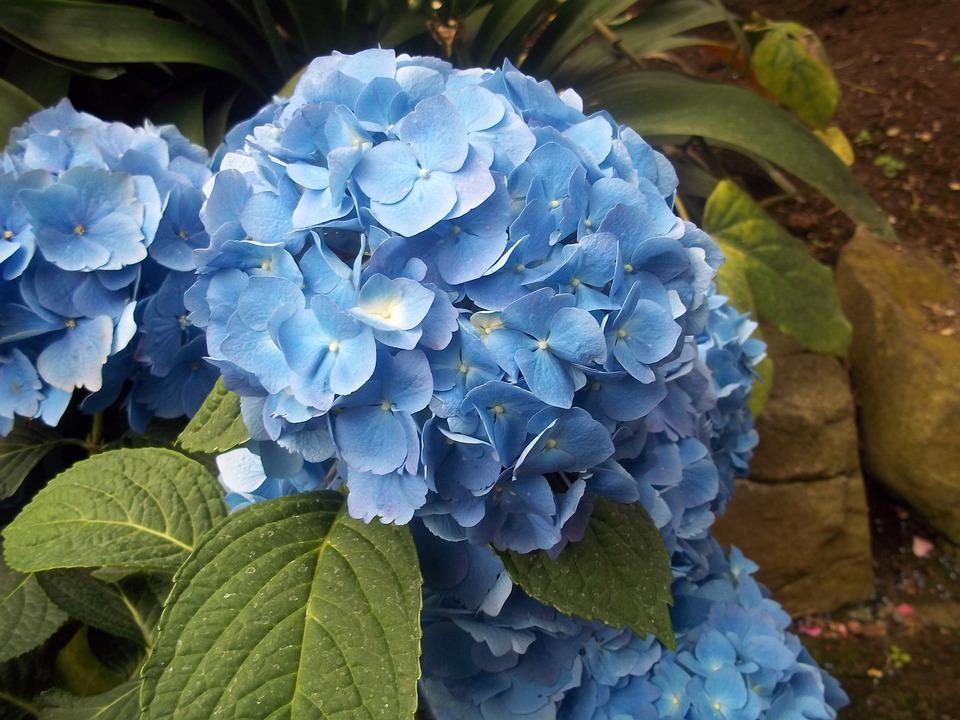 blue, hydrangea, flower