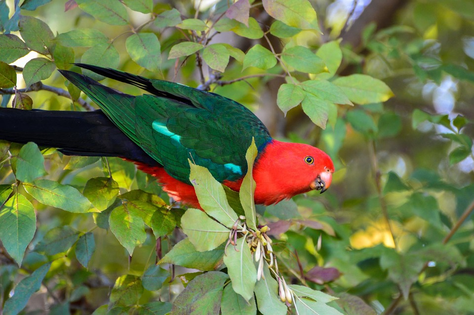 king parrot, parrot, exotic