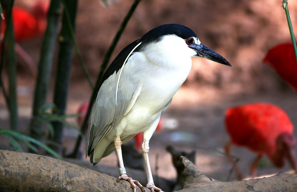 bird, tropical, striated heron