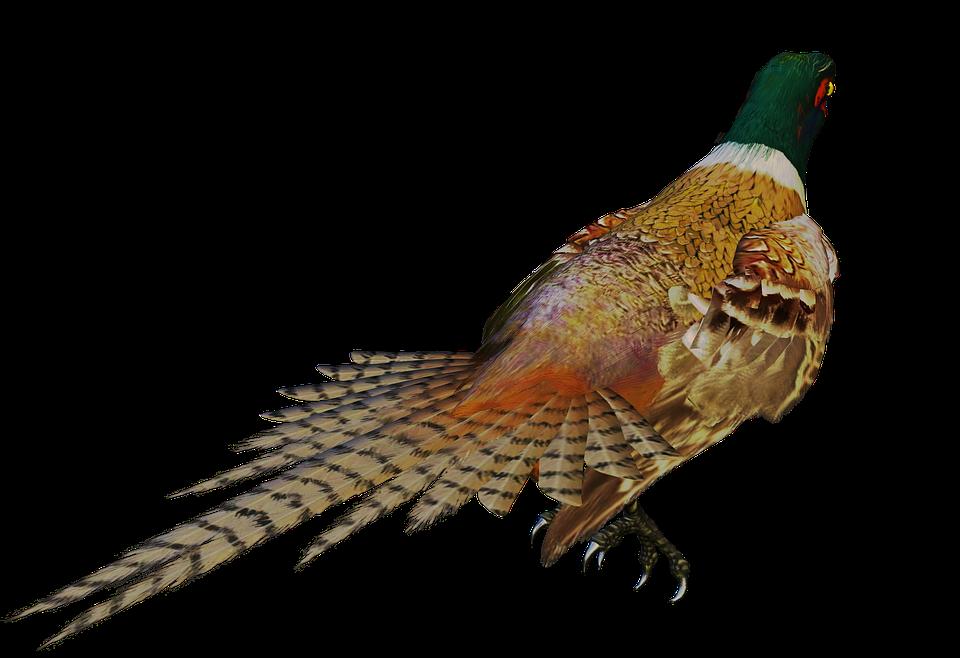 bird game bird, colorful, standing