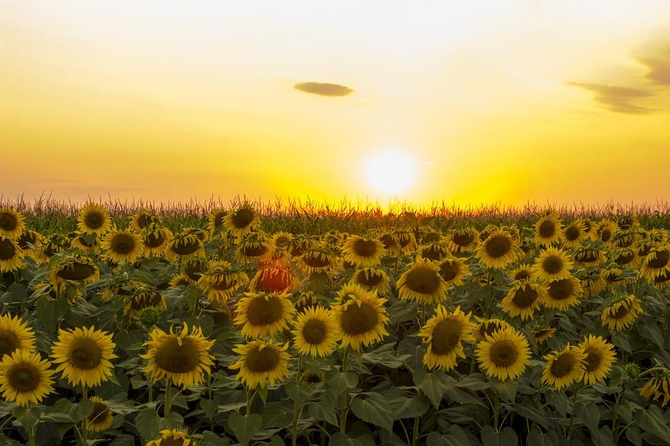 sunflower, sunset, dramatic sky