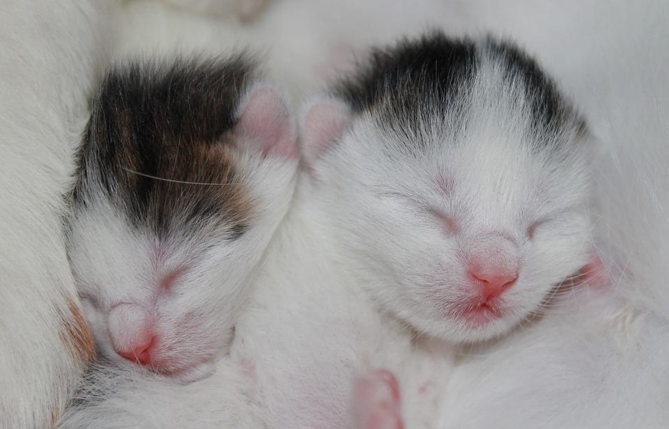 kitten, babies, white