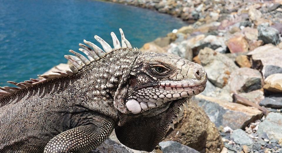 reptile, iguana, lizard