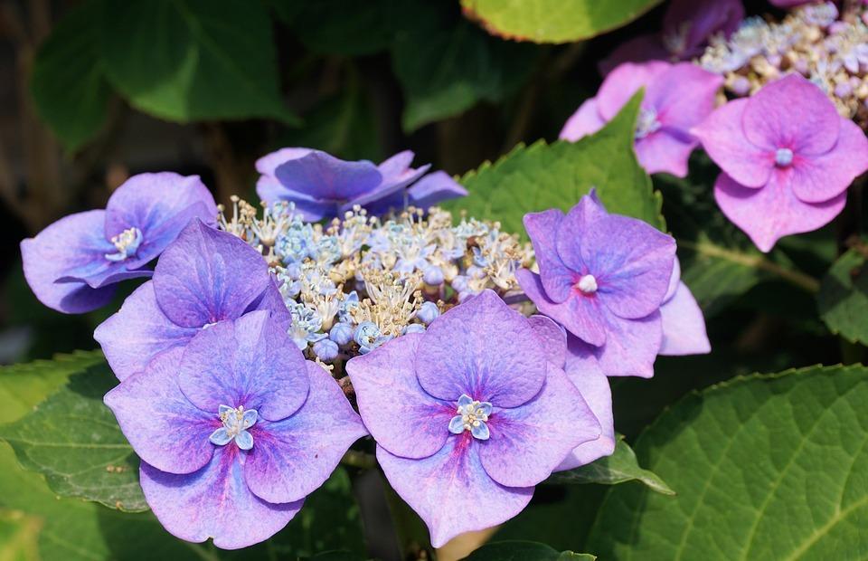 hydrangeas, flower, blossom