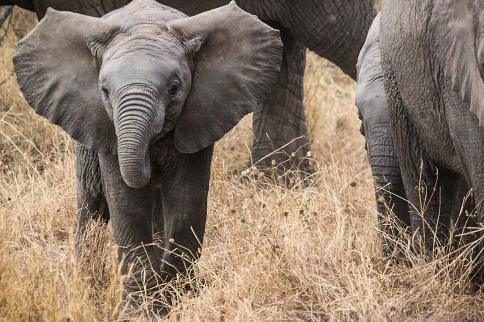 elephant baby, safari, elephants