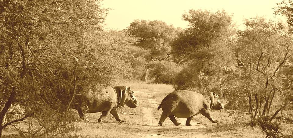 hippos, africa, safari
