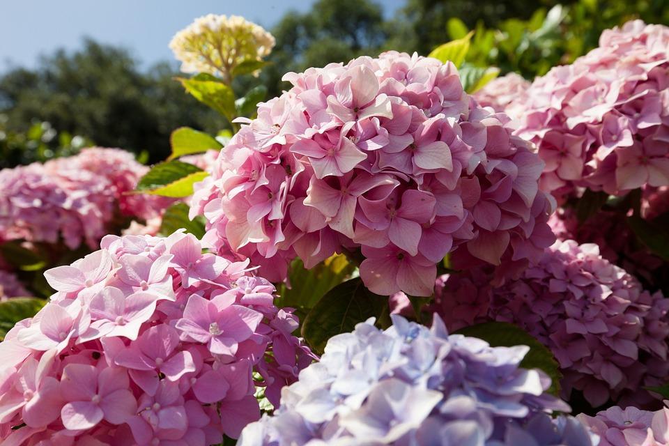 hydrangeas, flowers, hydrangea