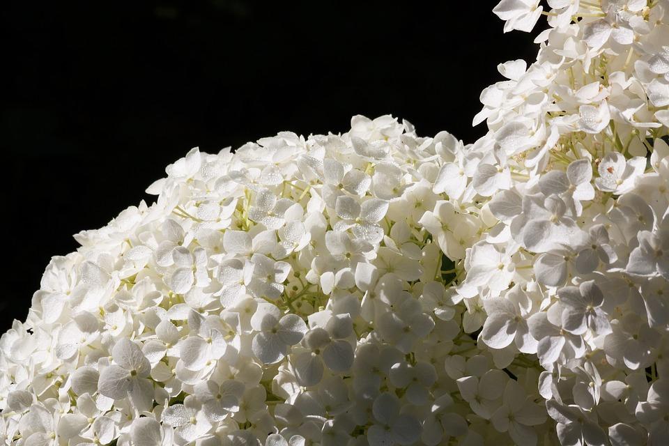 hydrangea, genus, greenhouse hydrangea