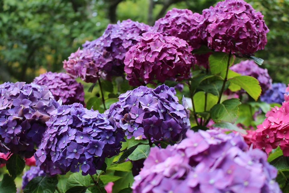 hydrangea, purple, pink