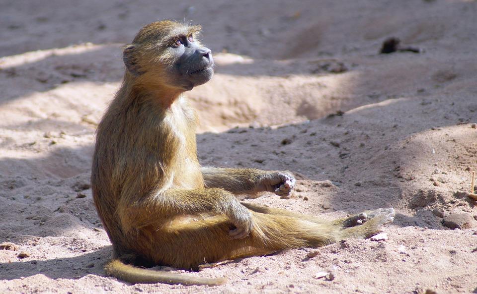 baboon, monkey baby, monkey