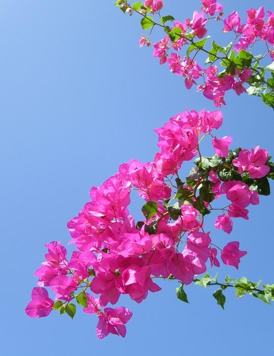 tropical flower, exotic flower, bougainvillea