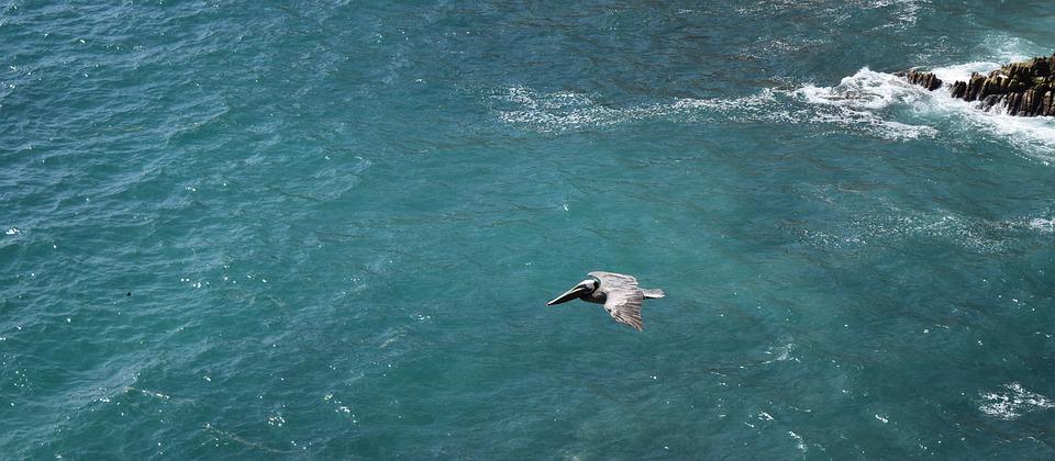 ocean, bird, pelican