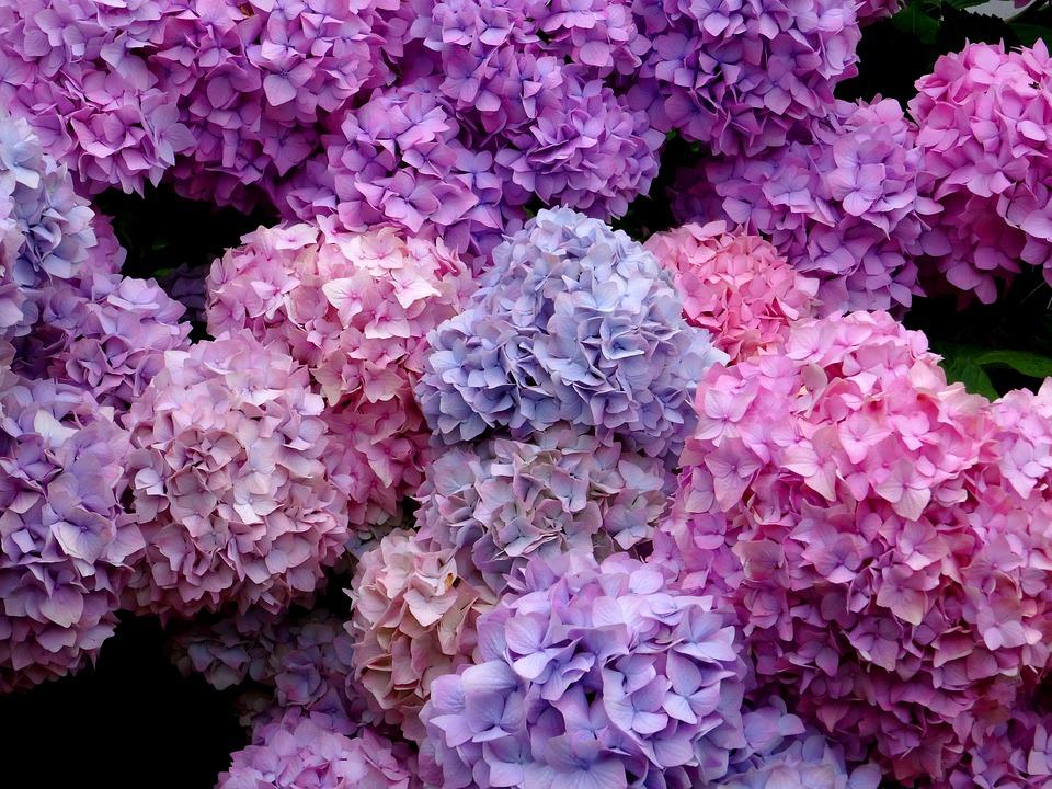 blossom, bloom, hydrangea