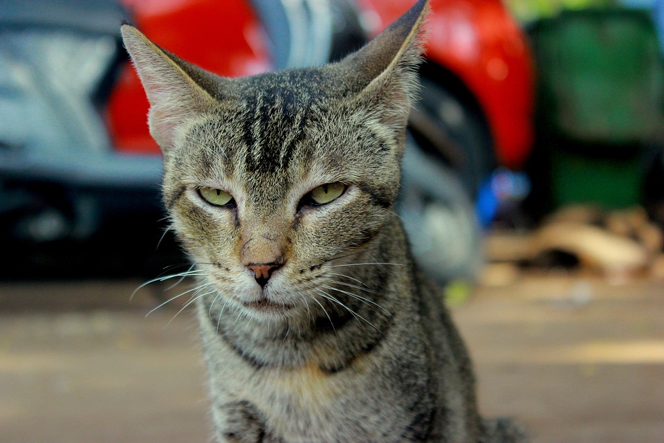 cat, angry, face