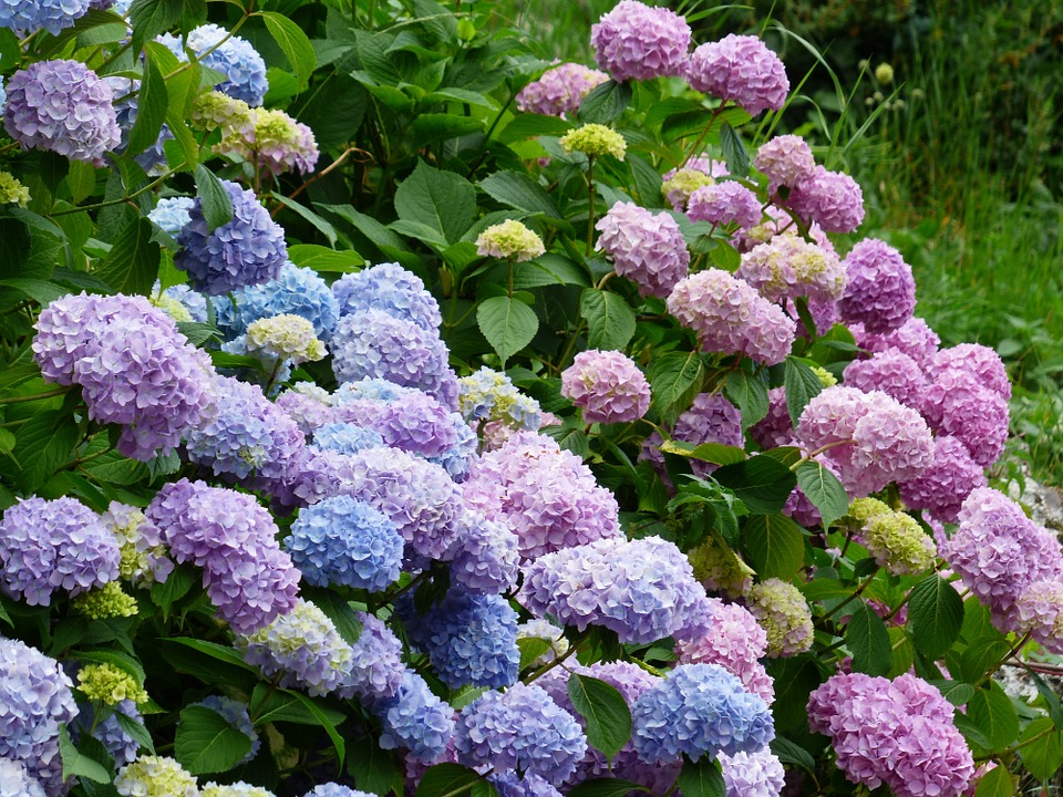 hydrangeas, flowers, blue