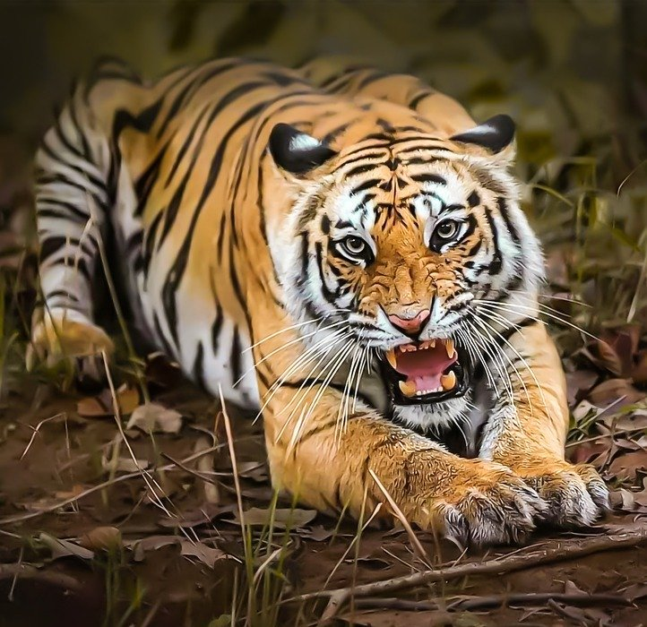 angry, tiger, animal