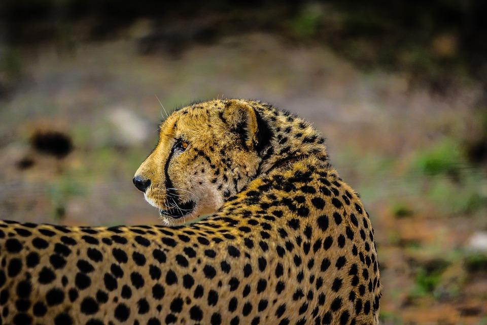 cheetah, wildlife, mammal