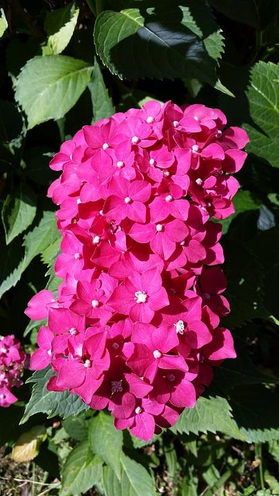hydrangea, flowers, small