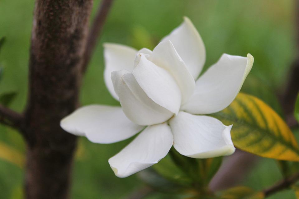 gardenia, flower, white