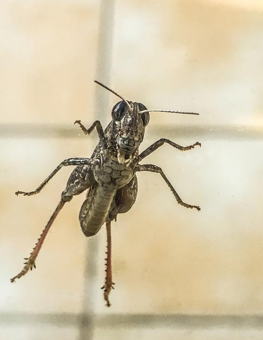 grillo, cricket, insecto