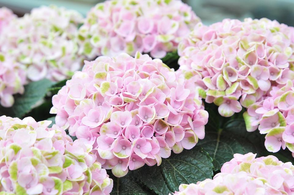 hydrangea, pink, flower