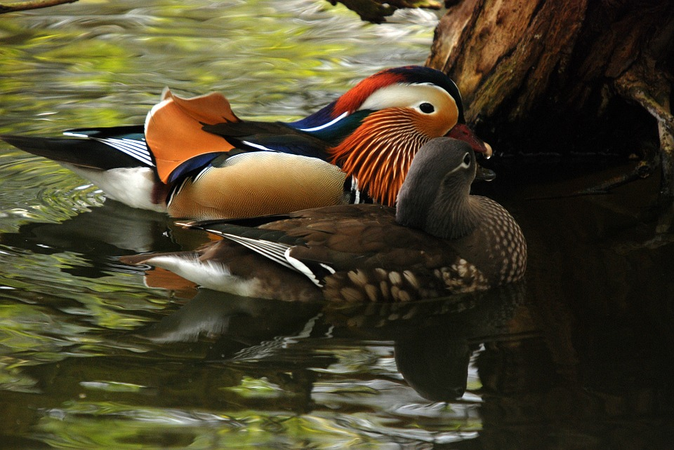mandarin, duck, exotic