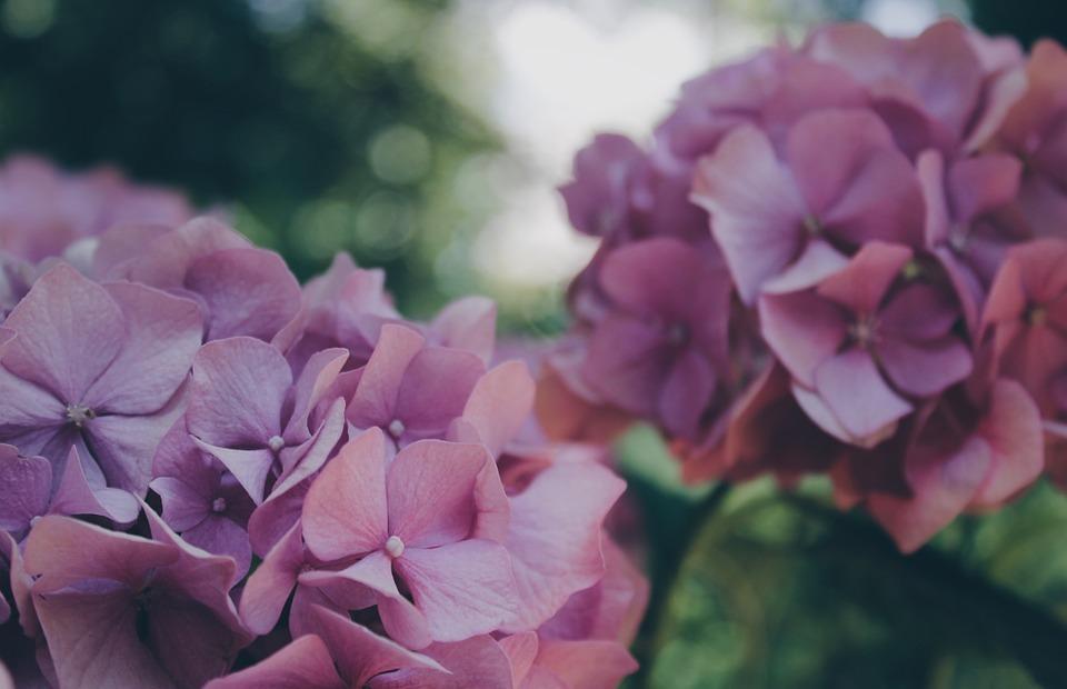 hydrangea, flower, floral