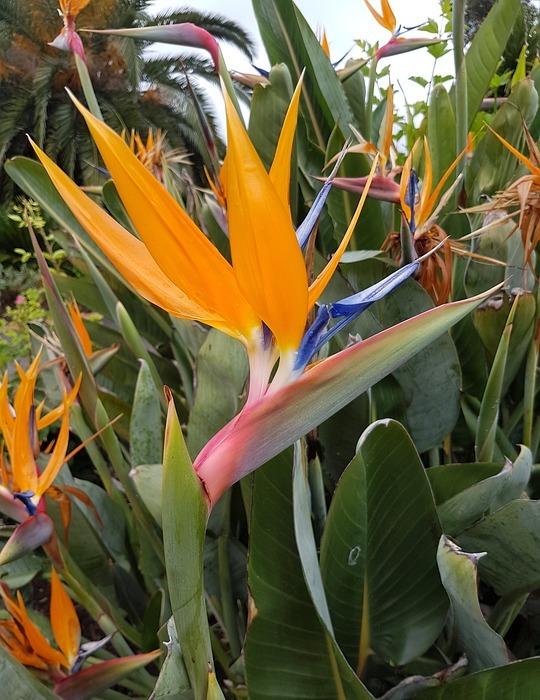 bird of paradise, flower, exotic