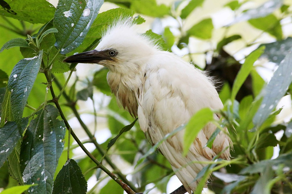 white crane, heron cub, bird