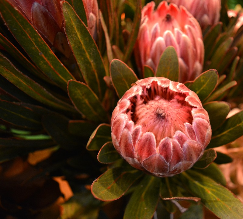 proteas, flowers, exotic