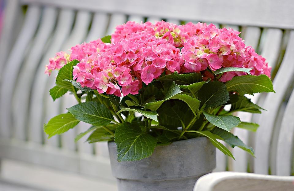 hydrangea, garden, summer