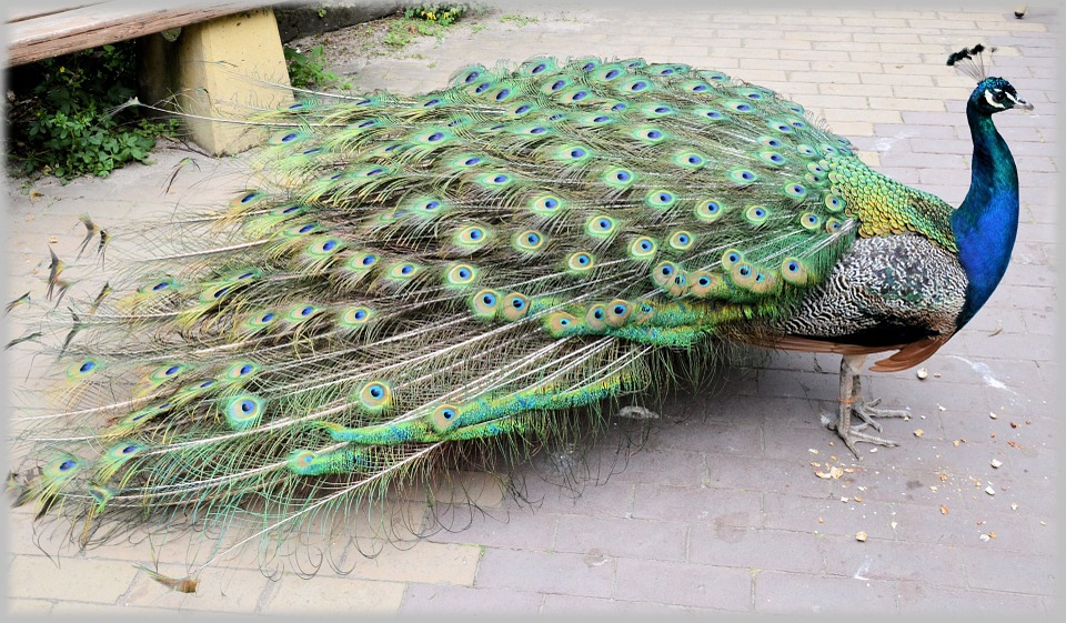 peacock, proud bird, colorful