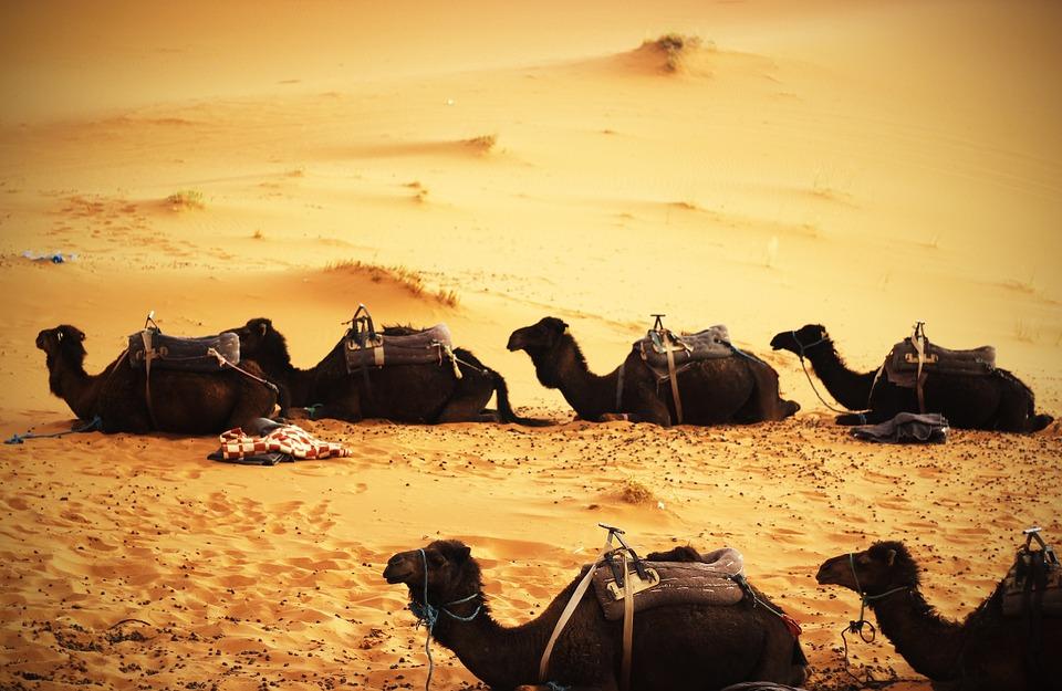 camels, desert, sand