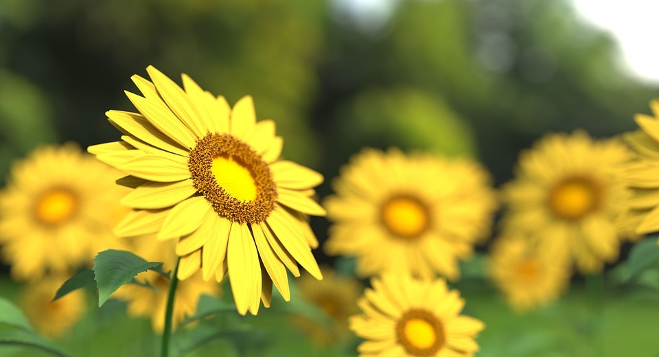 sunflower, flower, nature