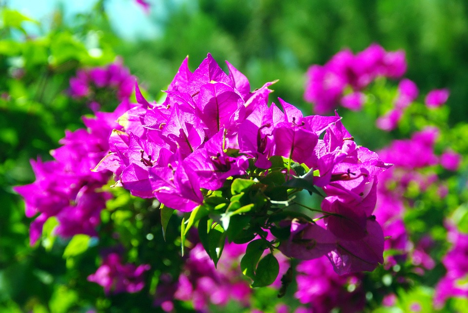 bougainvillea, botany, exotic flowers
