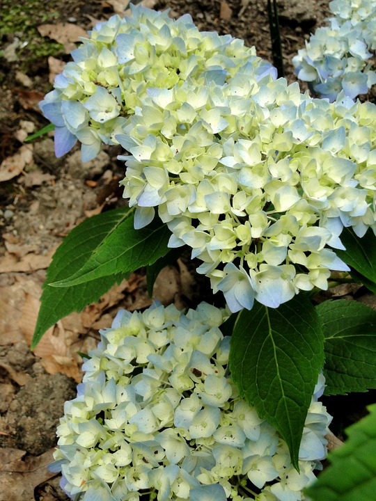 hydrangea, blue hydrangea, endless summer