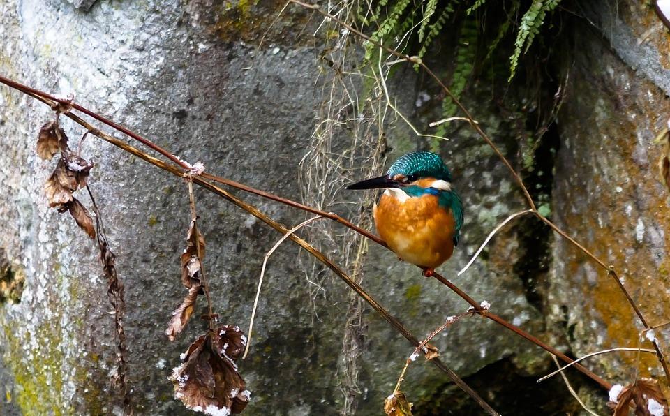 bird, kingfisher, colorful