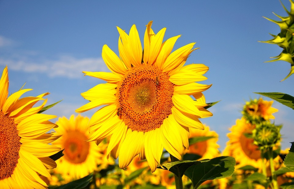 sunflower, yellow flower, summer