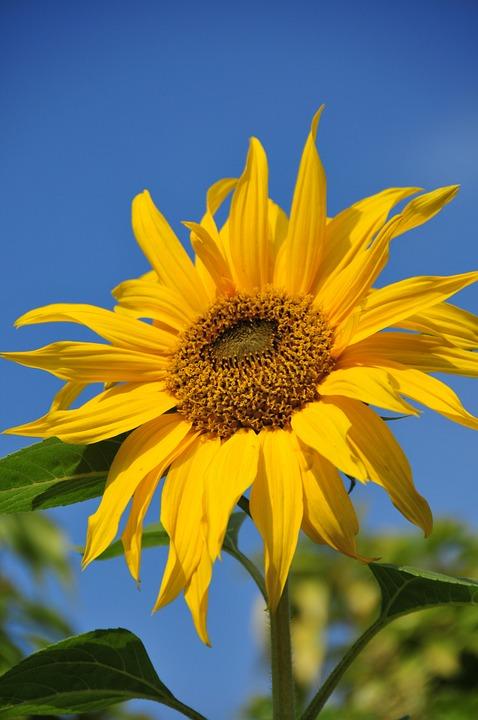 sunflower, sky, leaves