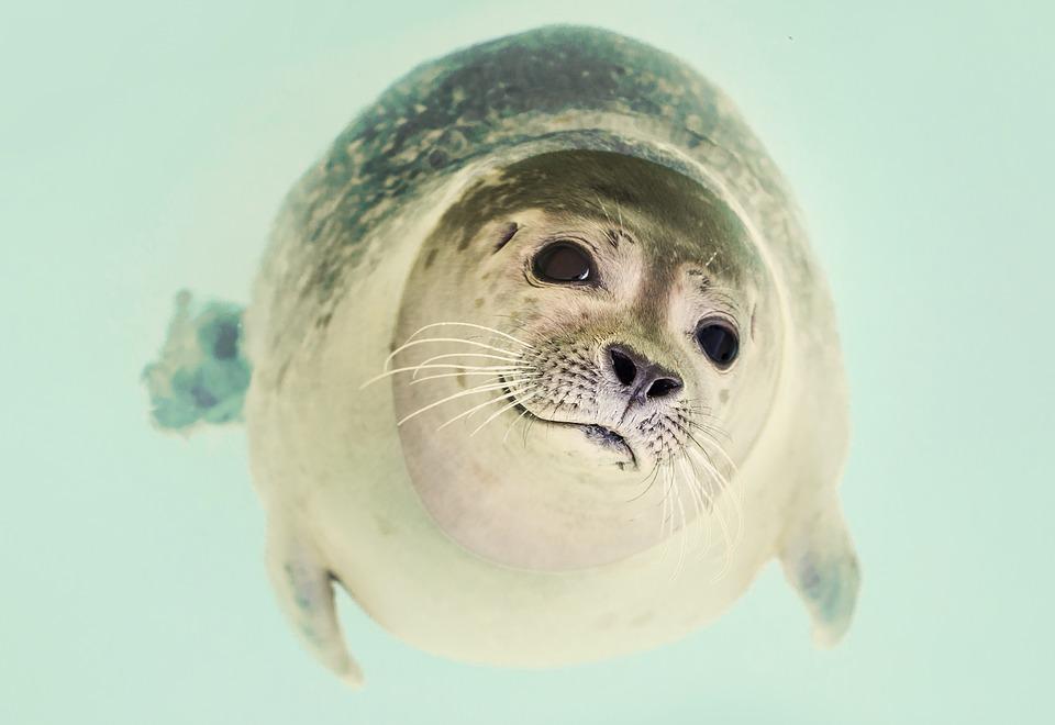 seal, mammal, cute