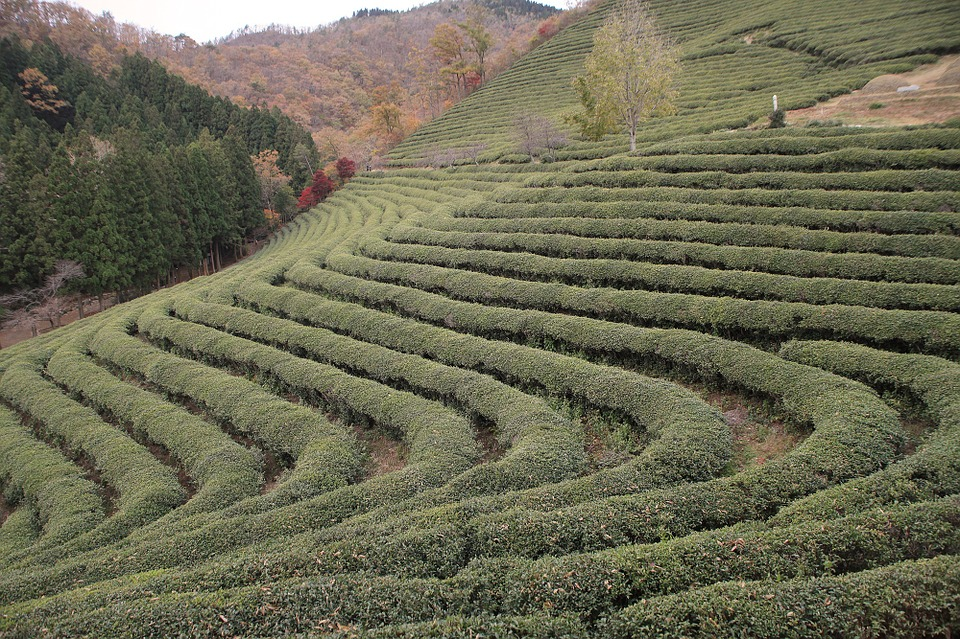 korea, tea, plantation