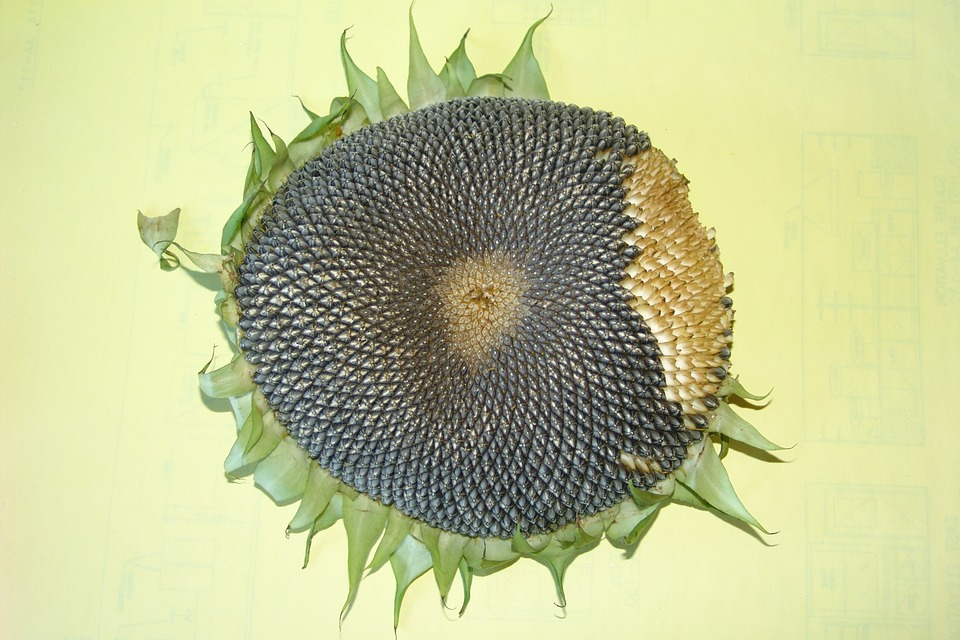 sunflower, sunflower seeds, sunflower head