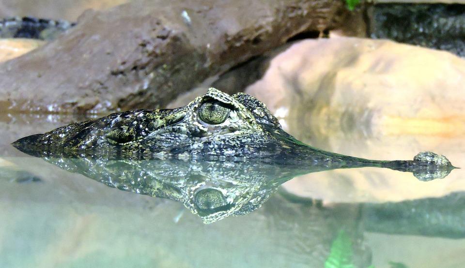 alligator, river, reptile