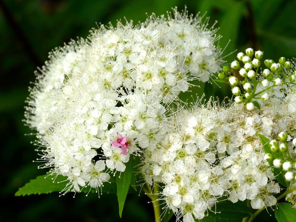 hydrangea, kamakura, white