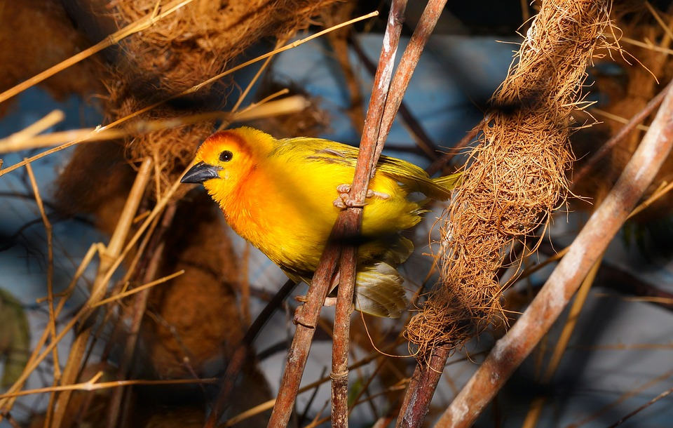bird, colorful, yellow
