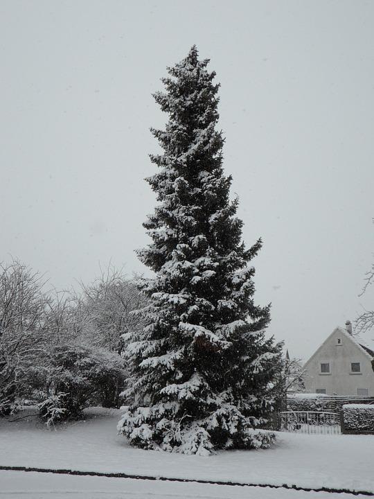 snowy, fir, high