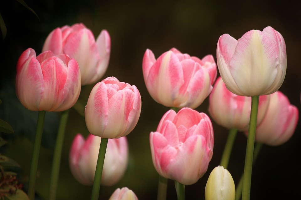 tulips, flowers, flower