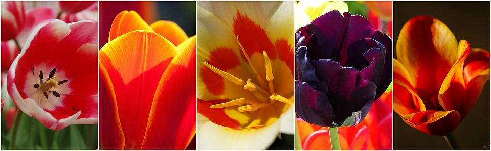 tulips, flowers, flower collage