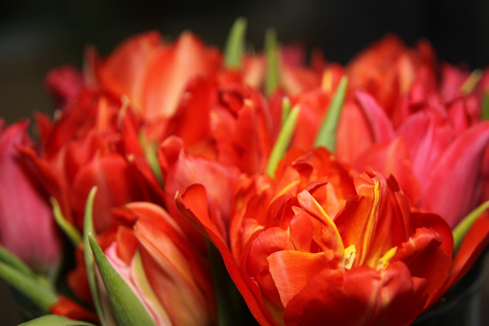 Tulips flowers red stock images page everypixel tulips flowers red mightylinksfo